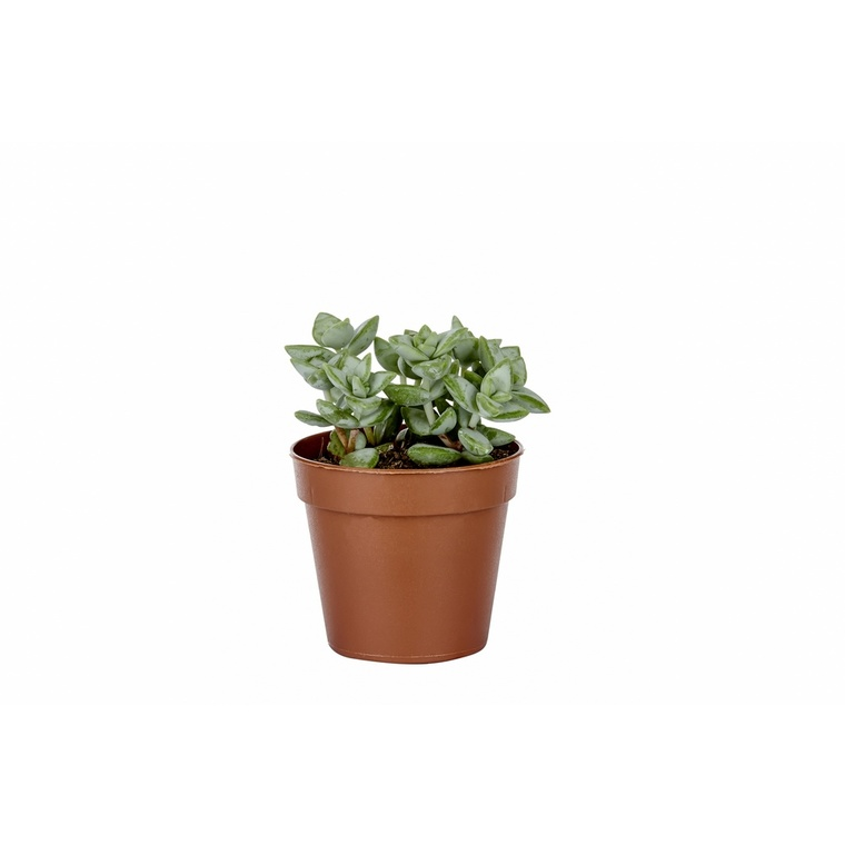 Plante grasse variée au choix sans cache-pot Ø 9cm 304495