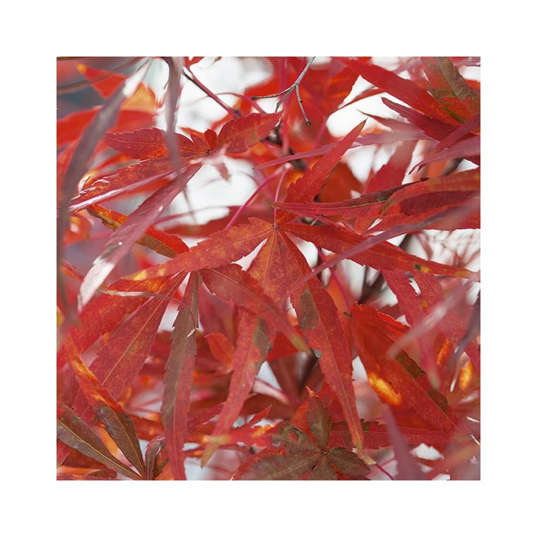 Erable du Japon (ACER PALMATUM ATROLINEARE ) Le pot de 7 litres 308493