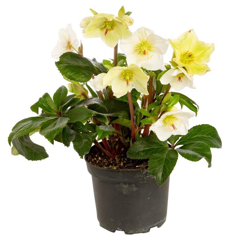 Hellébore fleurie. Le pot de 3 litres 312327