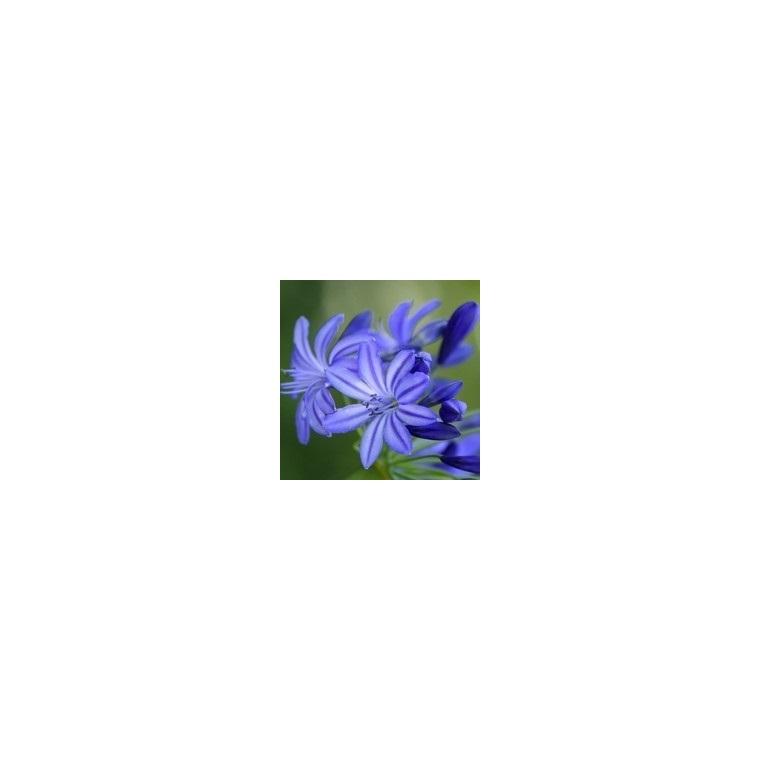 Agapanthe Bleue. Le pot de 1 litre 794465