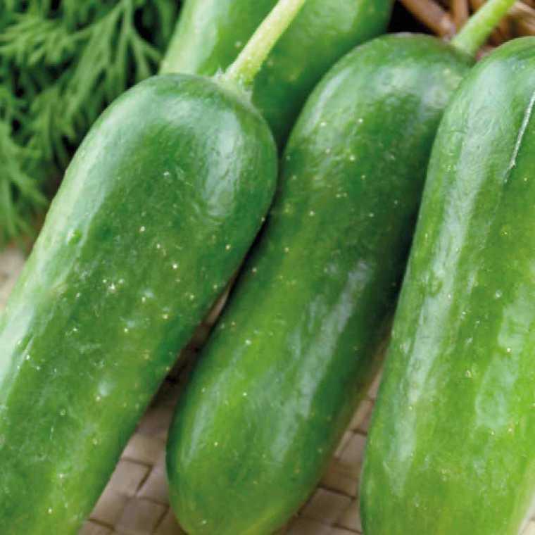 Cocombre apéritif Ctokdelis. Le pot compostable de 10,5 cm 316899