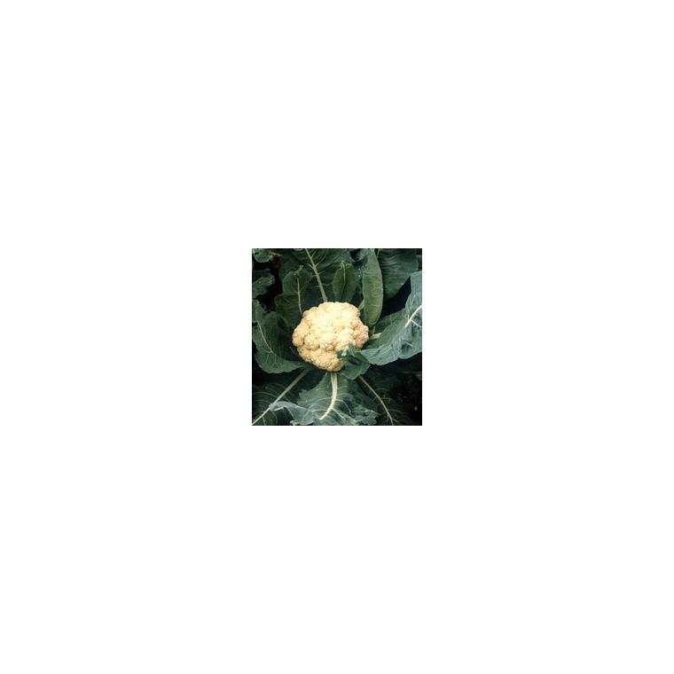 Chou Fleur Nautilus bio. La barquette de 3 plants 612827