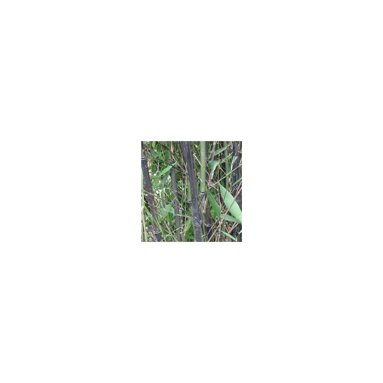 Bambou Phyllostachys Nigra noir 200/250 cm en pot de 30 L 810409