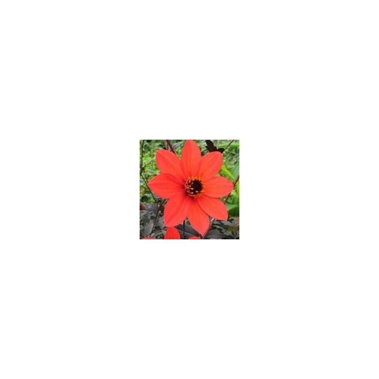 Dahlia Mystic Ladies ® Scarlet Fern. Le pot de 3 litres 174030