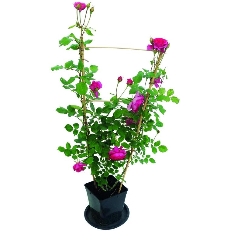 Rosier grimpant rose palissé 335063