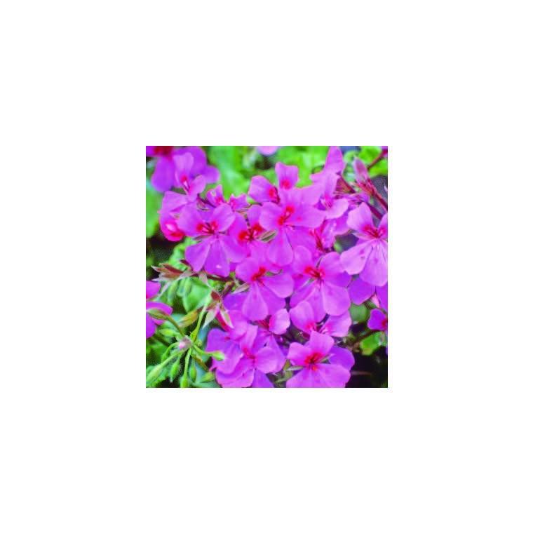 Géranium lierre à grandes fleurs rose. Le pot de 12 x 12 cm 335389