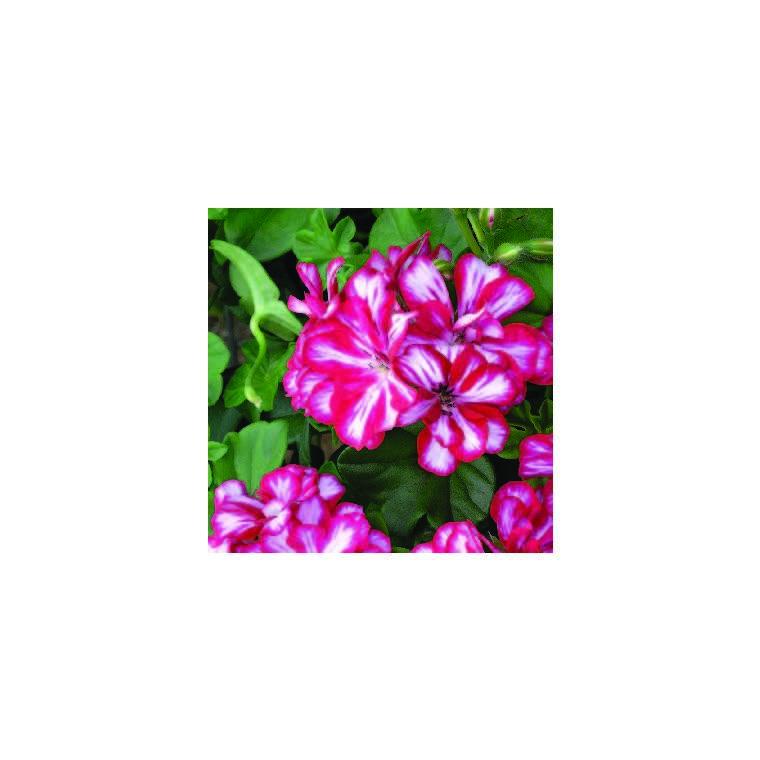 Géranium lierre à grandes fleurs bicolore. Le pot de 12 x 12 cm 335390