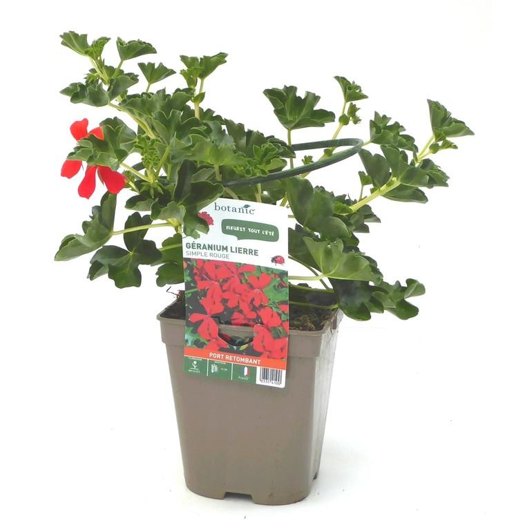 Géranium lierre simple rouge. Le pot de 12 x 12 cm 335410