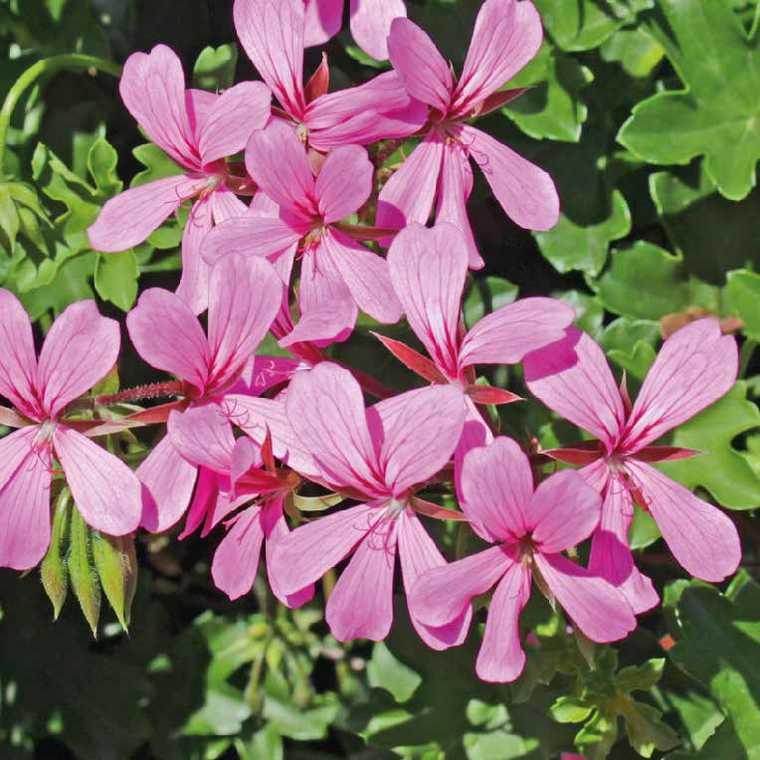 Géranium lierre simple rose. Le pot de 12 x 12 cm 335412