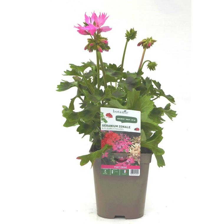 Géranium zonale à fleurs étoilées. Le pot de 12 x 12 cm 335415