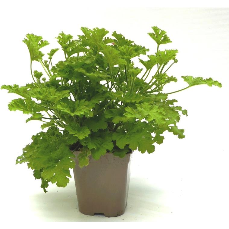 Géranium odorant citronnelle. Le pot de 12 x 12 cm 335416
