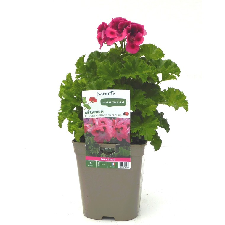 Géranium pensée à grandes fleurs. Le pot de 12 x 12 cm 335418
