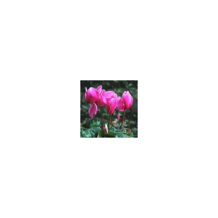 Cyclamen à grandes fleurs. Le pot de 1 litre 33656