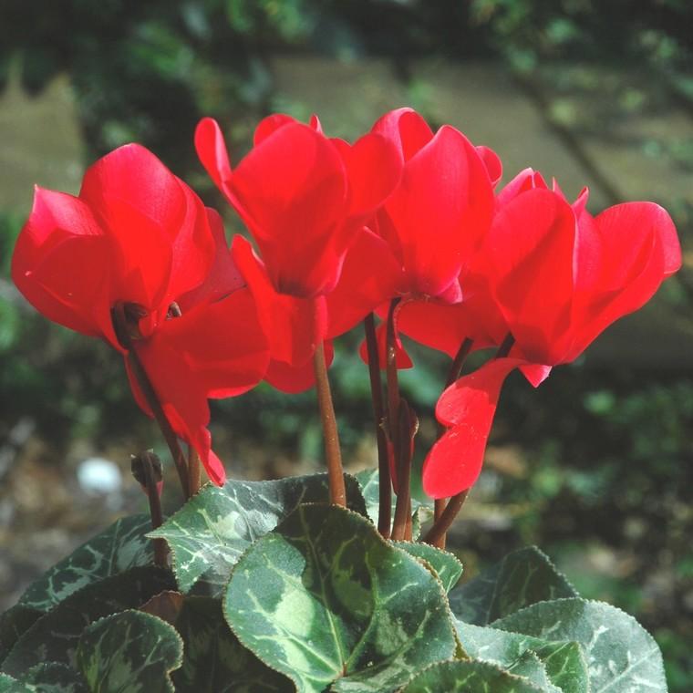 Cyclamen à grandes fleurs. La coupe de 30 cm 34115