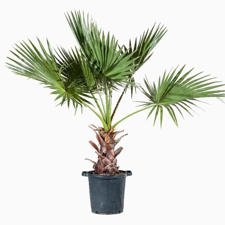 Palmier Washingtonia en pot de 35 L 342930
