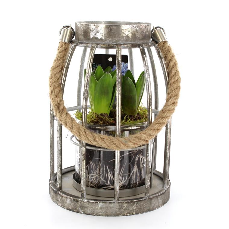 Jacinthe lanterne zinc. La composition 347954