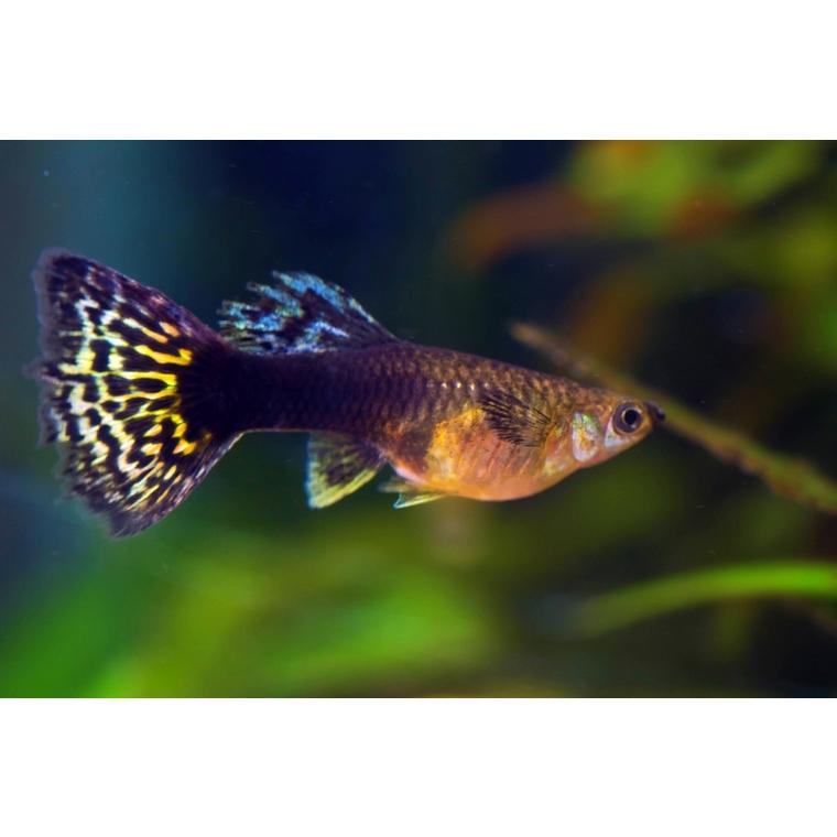 Guppy mâle néon bleu 3,5/4 cm 362280