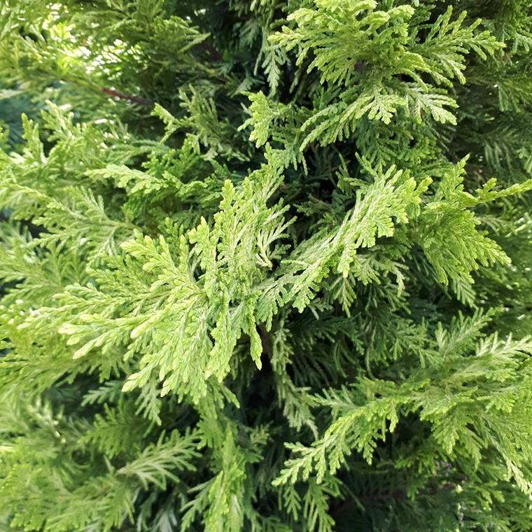 Cupressocyparis Leylandii Castlewellan Gold (Cyprès de Leyland) spirale  en pot de 24 L jaune 364771