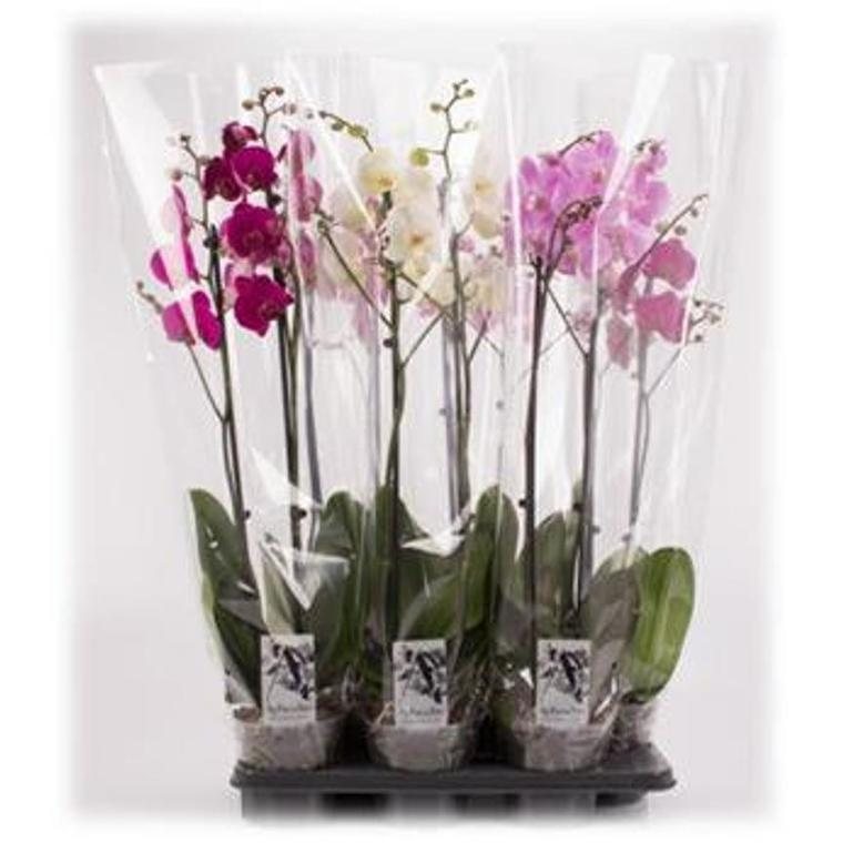 Orchidée Phalaenopsis Grandiflora 365235