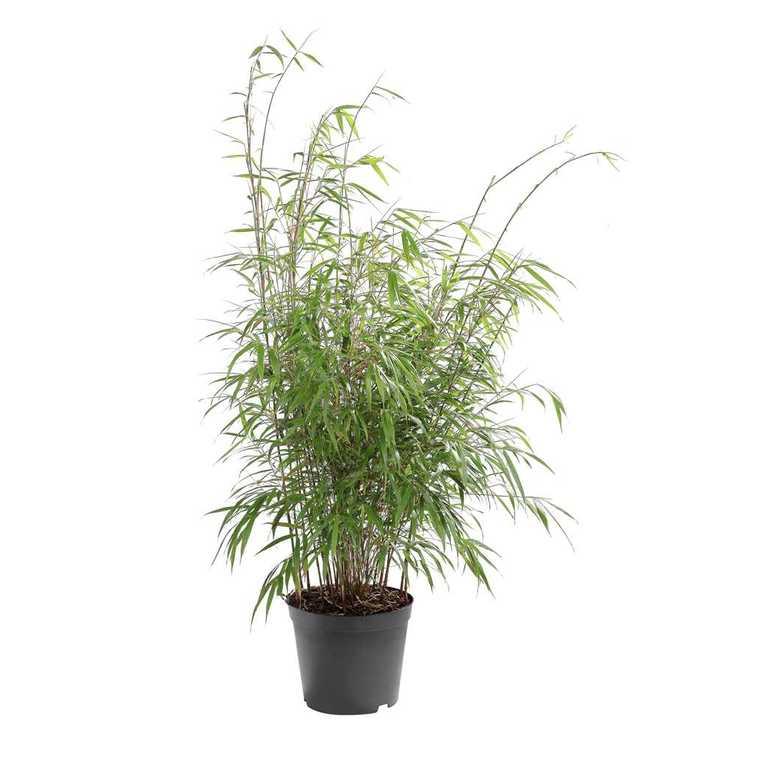 Bambou Asian Wonder en pot de 10 litres 366670