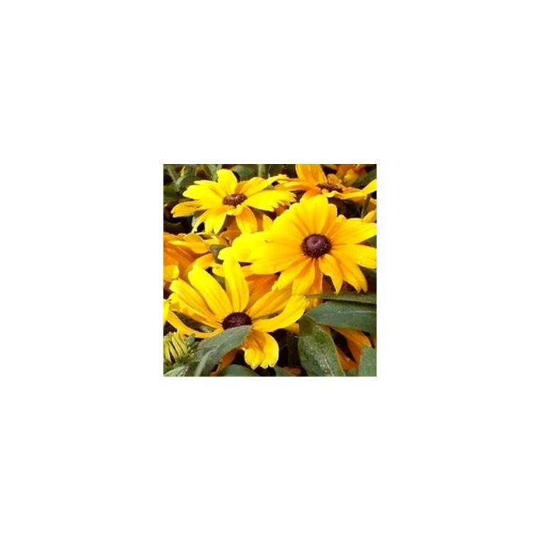 Rudbeckia Vivace. Le pot de 1 litre 367616