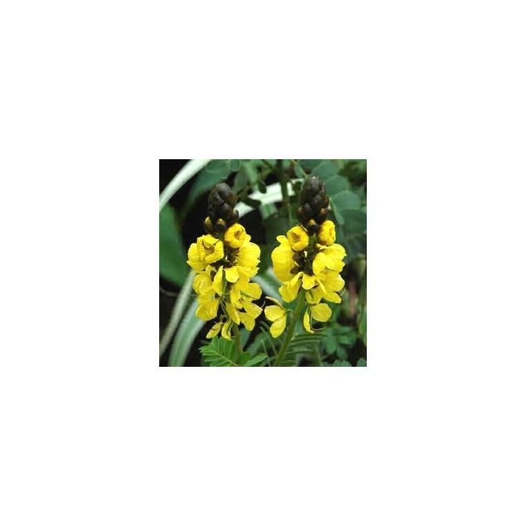 Cassia Corymbosa. Le pot de 5 litres 369889