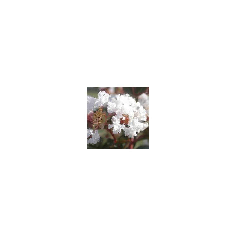 LAGERSTROEMIA INDICA CHARMS ®  NEIGE D'ETE ®.Le pot de 3L 37070