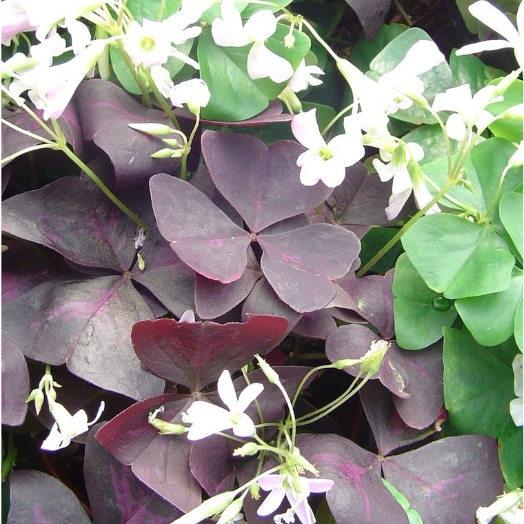 Oxalis trèfle à 4 feuilles. Le pot de 1,6 litre 371241