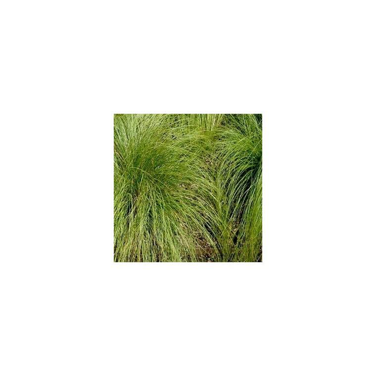 Carex Comans Vert. Le pot de 1,6 litre 371300