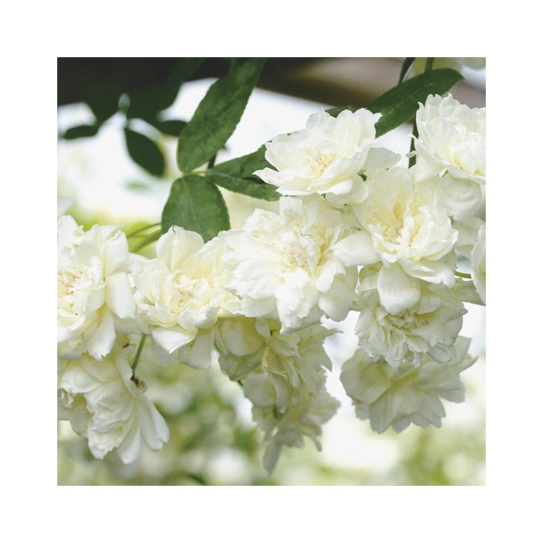 Rosier Banksiae Alba Plena – Pot de 6L 375045