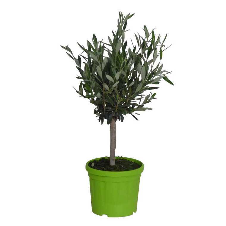 Olivier Olea Europaea – Pot de 3L 378898