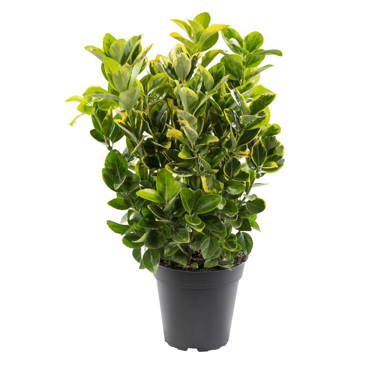Euonymus variés. Le pot de 1 litre 380315