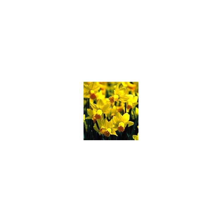 Narcisse Gold Attraction. La coupe de 19 cm 346806