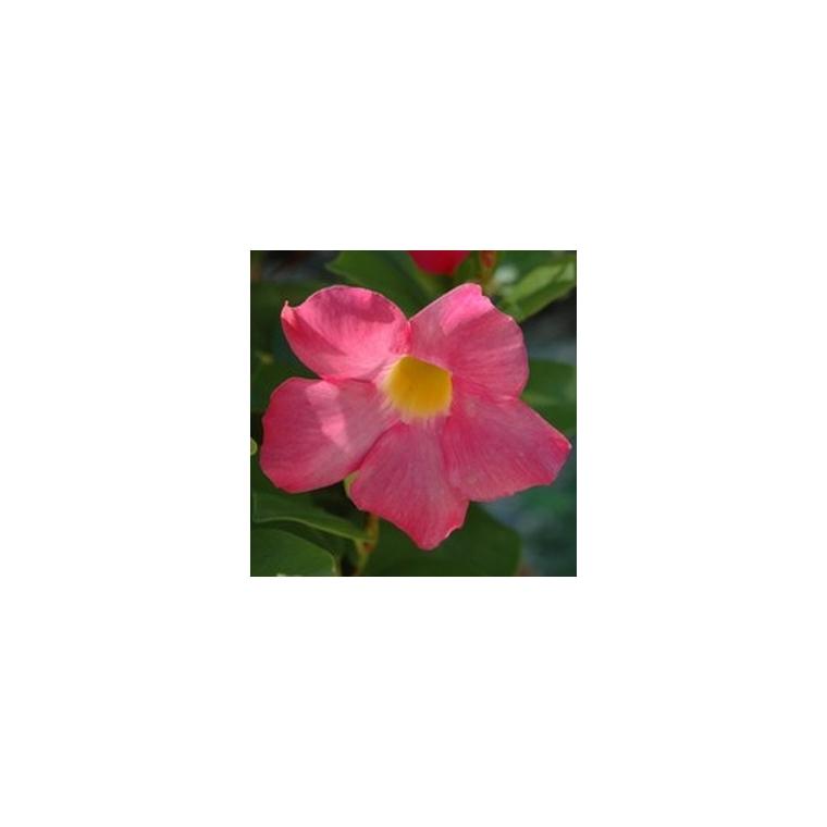 Dipladénia buisson. Coupe de 23 cm 395376