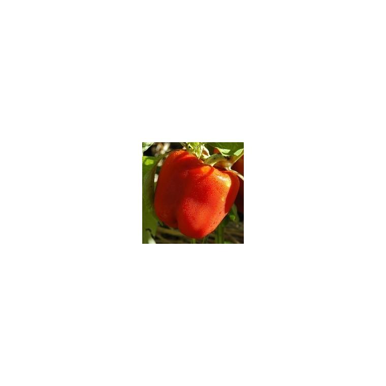 Poivron À Gros Fruits Rouges. La barquette de 6 plants 423165
