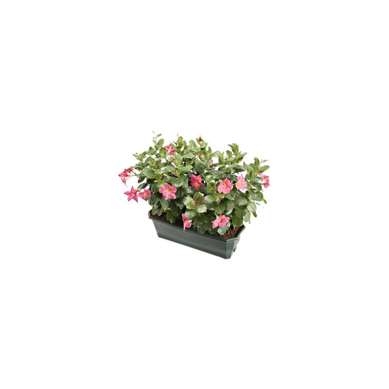 Dipladénia buisson. La jardinière de 40 cm 395377