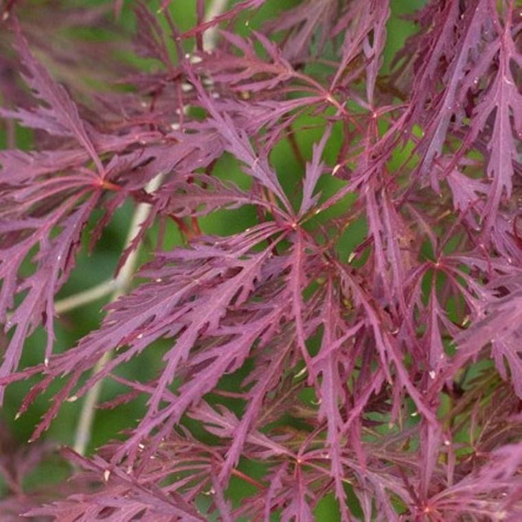 Acer Palmatum Dissectum Rouge (Érable du Japon) 1/2 tige en pot de 20 L rouge 396983