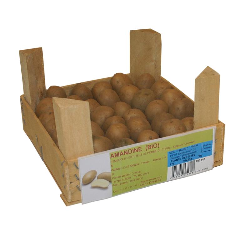 40 plants à demi-germés de pommes de terre amandine bio cal. 25 à 32