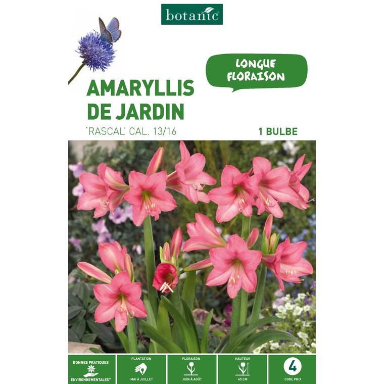 Amaryllis rascal rose 1 bulbe de calibre 13 à 16 – 4 m