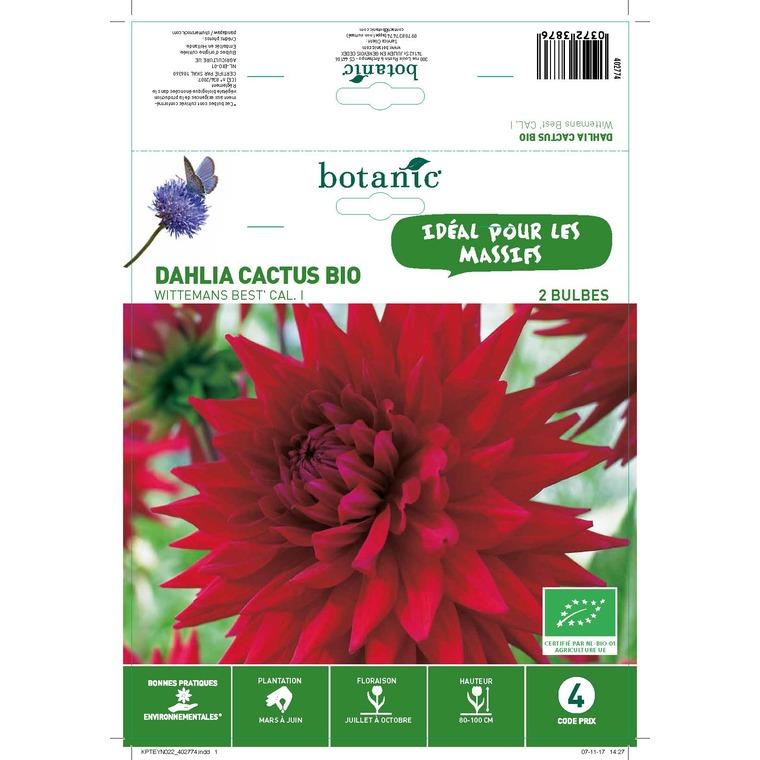 Dahlia cactus wittemas bio 2 bulbes de calibre 1 – 4 m
