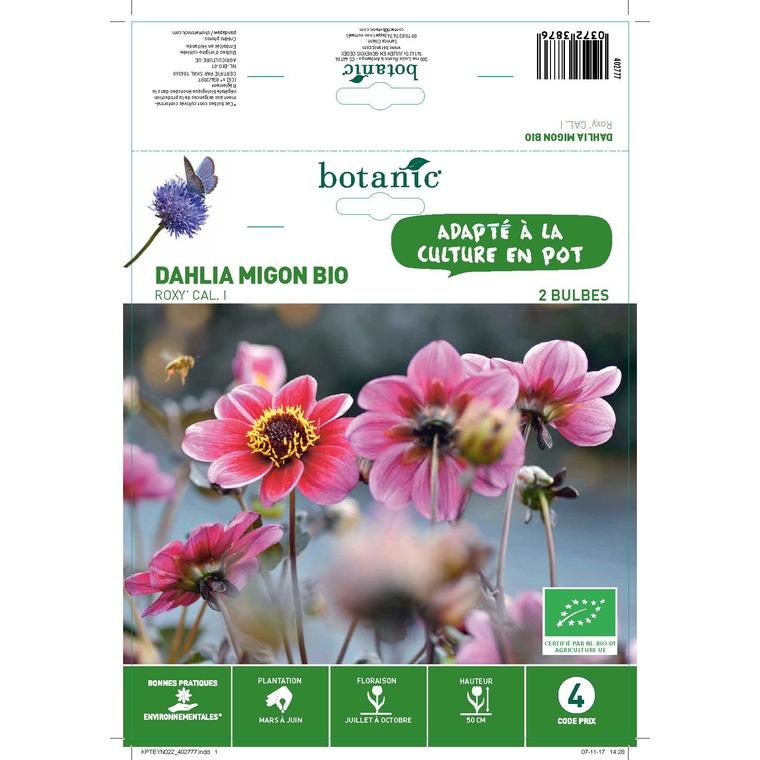Dahlia décoratif mignon roxy bio 2 bulbes de calibre 1 – 4 m