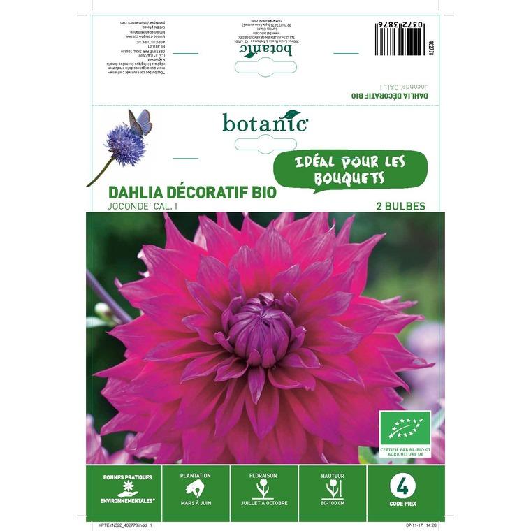 Dahlia décoratif joconde bio 2 bulbes de calibre 1 – 4 m
