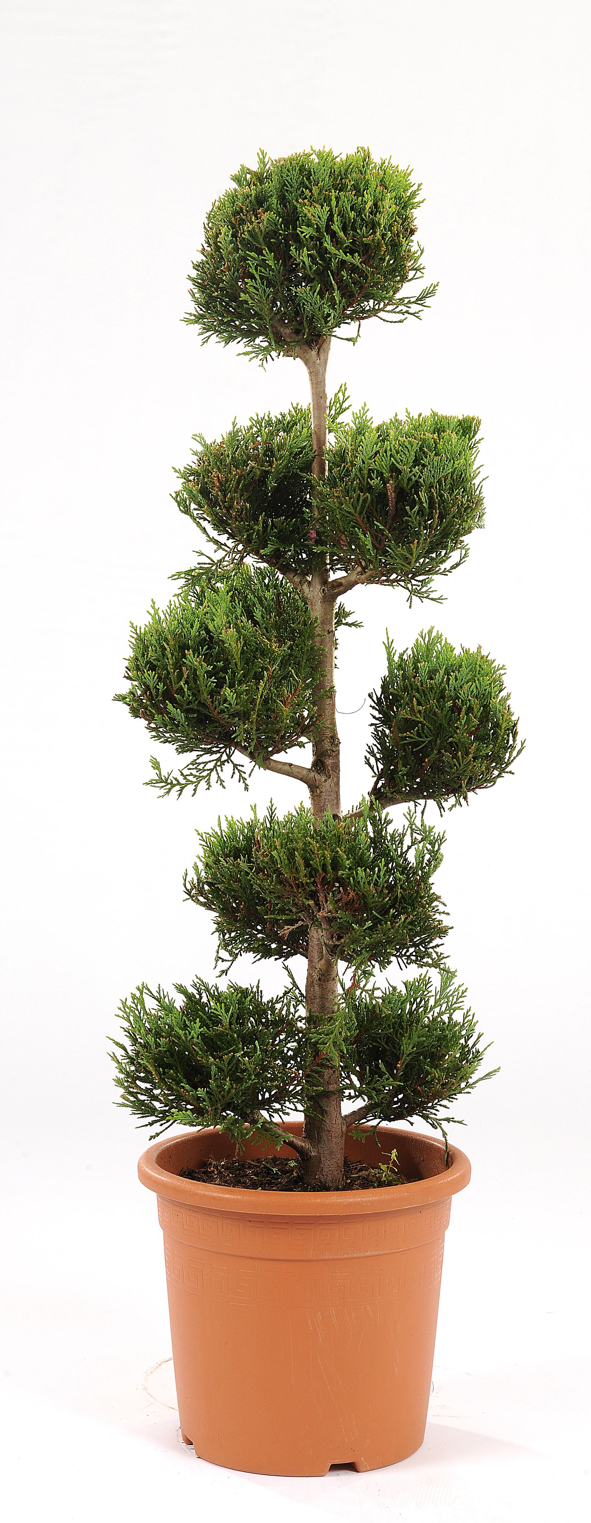 Cypr s dor botanic for Botanic com jardin