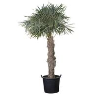 """Palmier """"Trachycarpus"""""""
