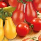 Tomates Cerises en mélange Yellow, Red Pear, Supersweet - Barquette de 3 plants