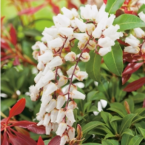 Andromède Japonica Mountain Fire - pot 15 L 401624