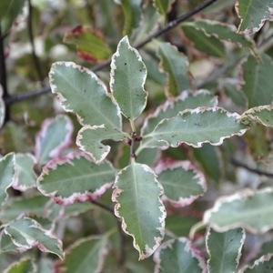 Pittosporum Tenuifolium Elizabeth (Pittospore Elizabeth) en pot de 7,5 L multicolore 401677
