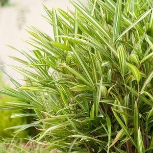 Bambou - pot 1,6 L 402190
