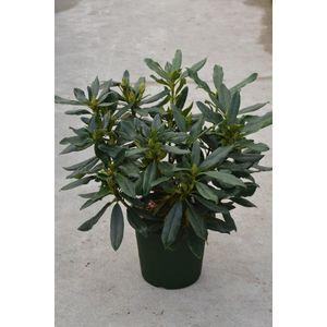 Rhododendron Madame Masson blanc 402239