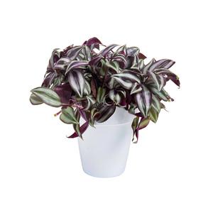 Tradescantia Zebrina botanic® - Pot de 15 cm de diamètre